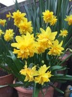 Ready Potted 1 Litre Pot   TETE BOUCLE  NARCISSUS Miniature Daffodil/Narcissi